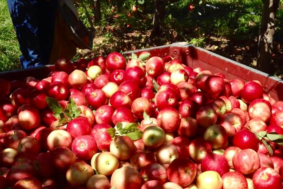 The Four Foot Apple Festival