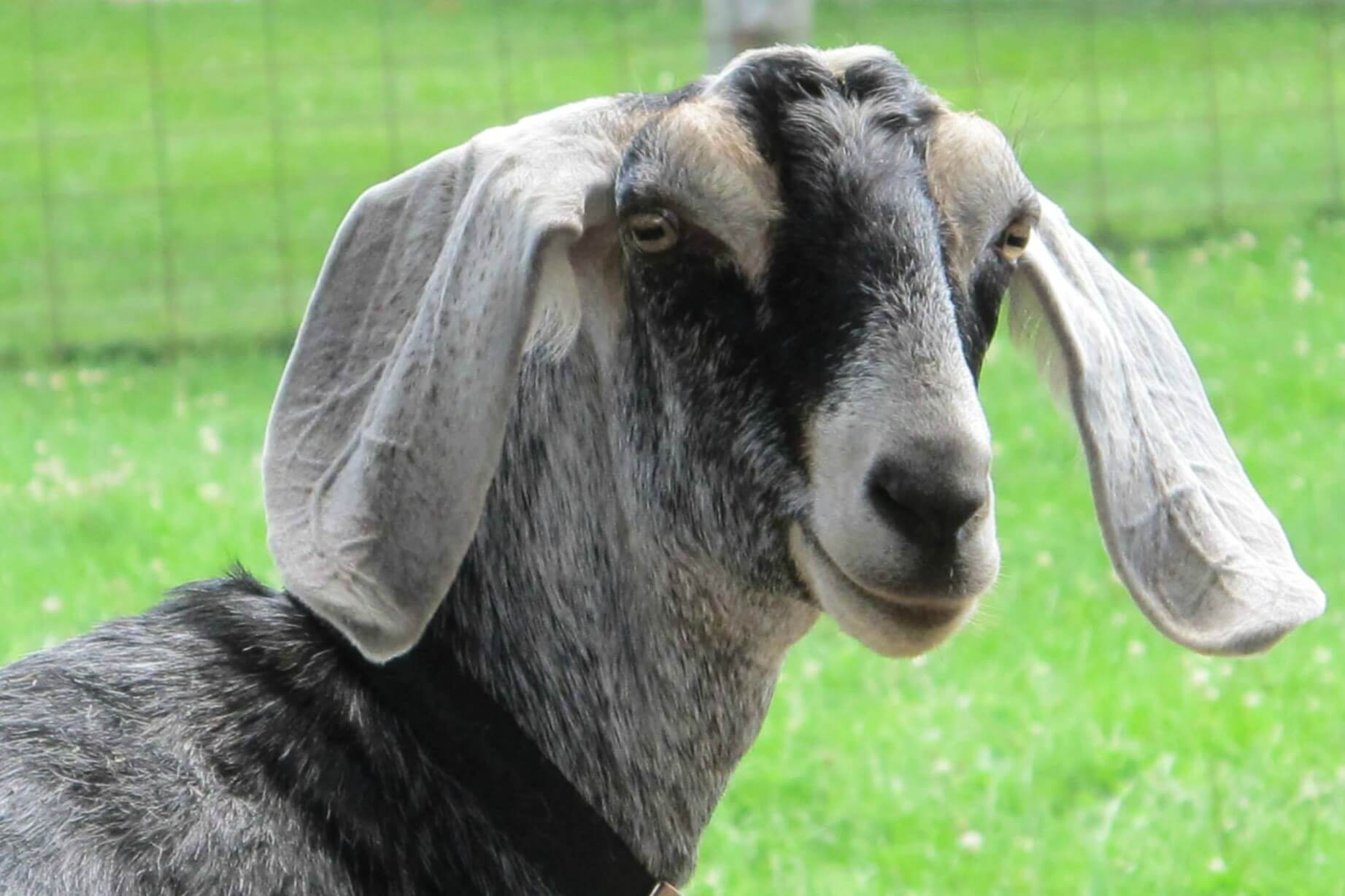 Fun On The Farm: Goats
