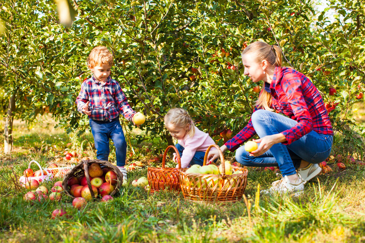 Girl And Boy With Teacher Picking Apples From The Tree In A Sunny Autumn Farm And Putting Them Into A Basket,a Lot Of Fruits Laying On A Ground