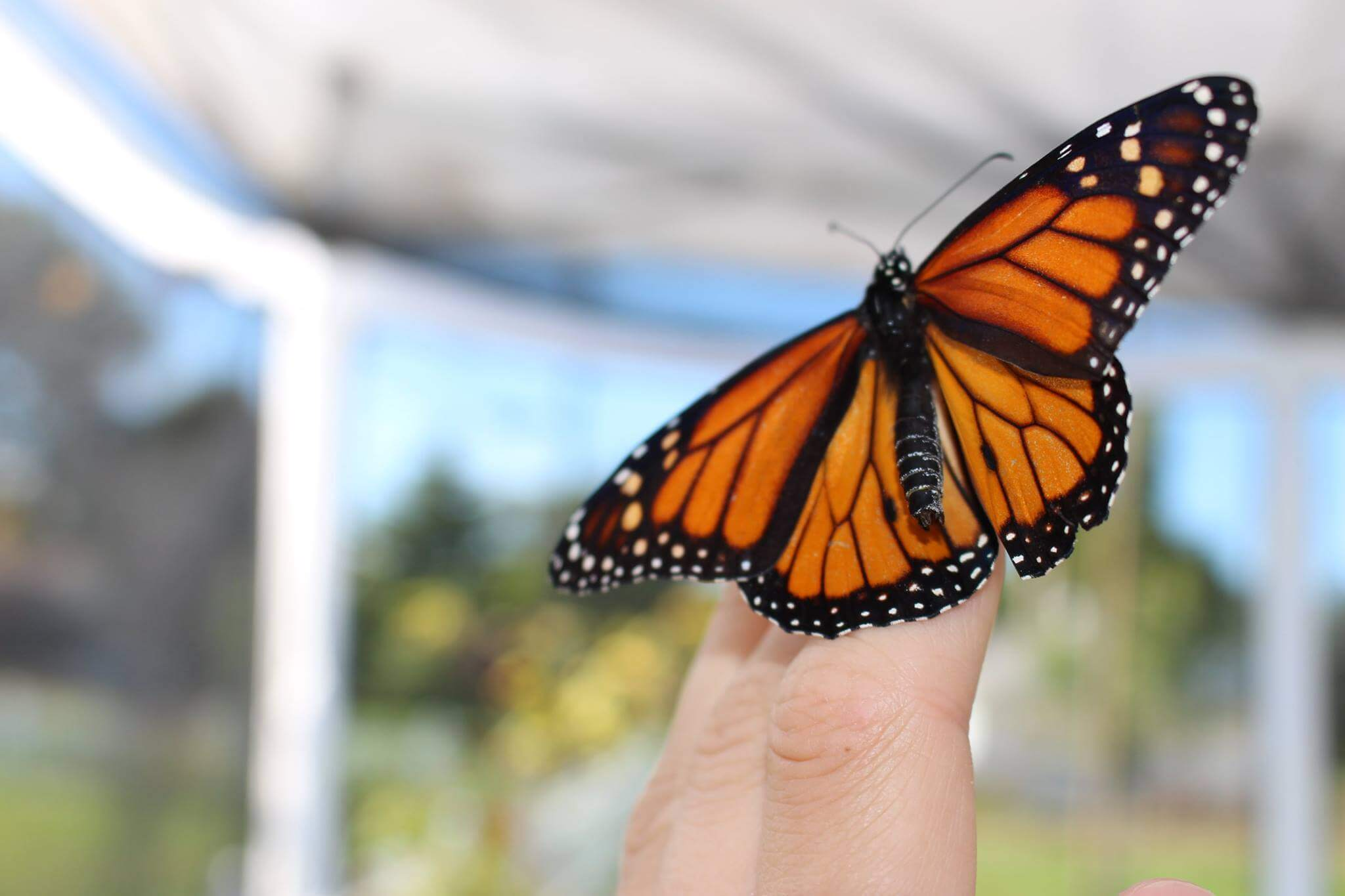 Monarch Butterfly Tag And Release