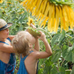 4 Sunflower Farms To Visit In Metro Detroit