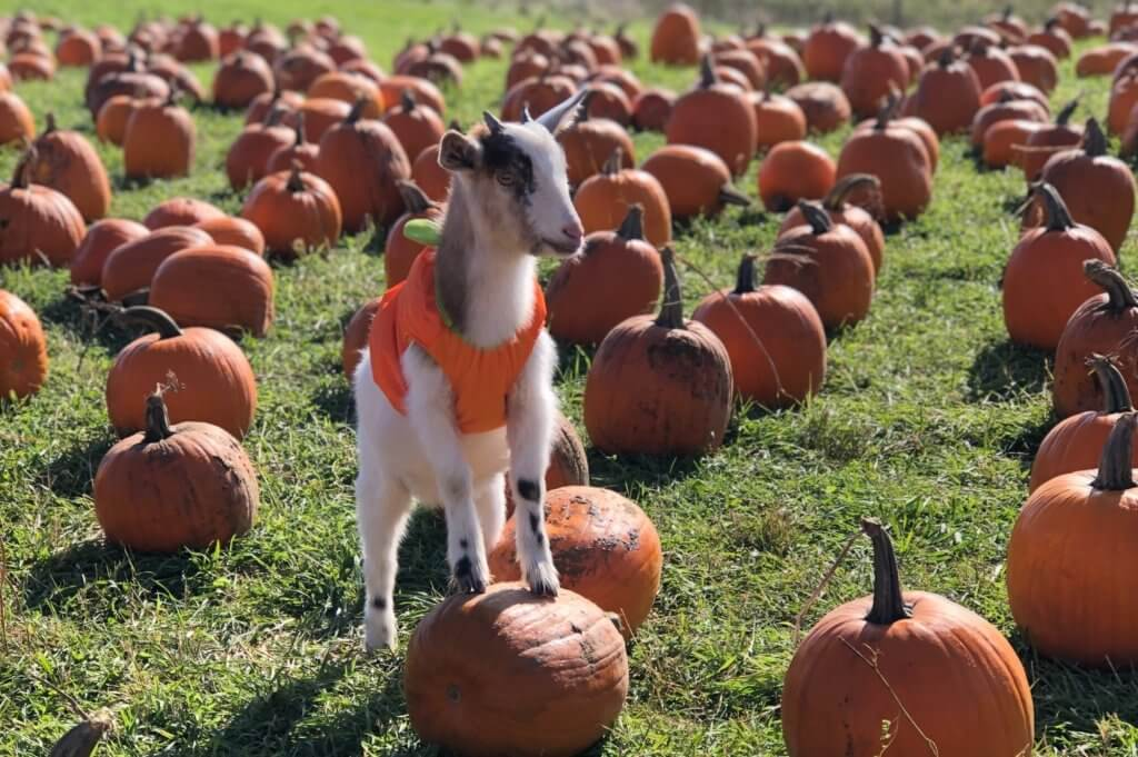 goat in halloween costume upland farms
