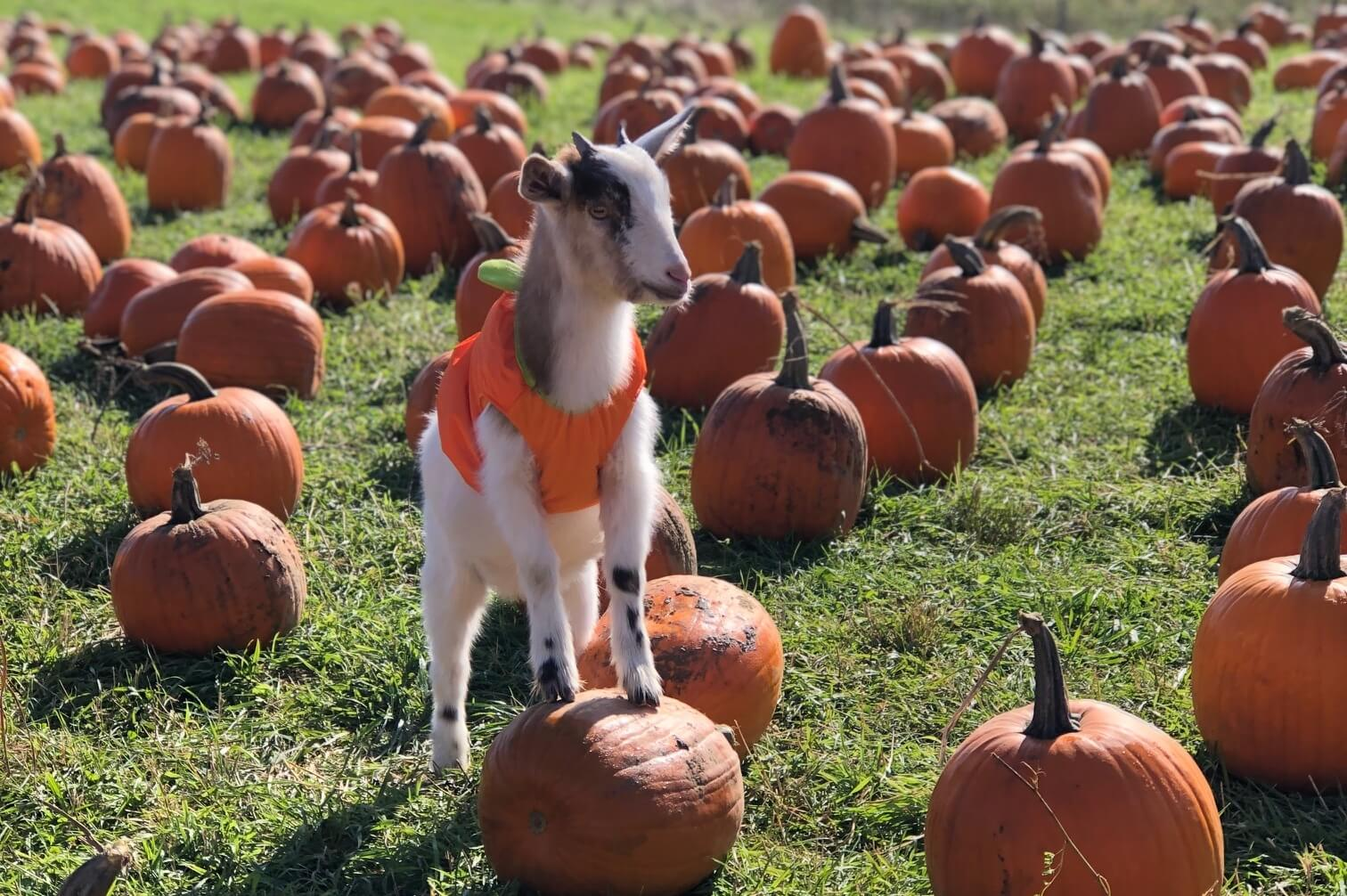 Trick Or Treat At Upland Hills Farm