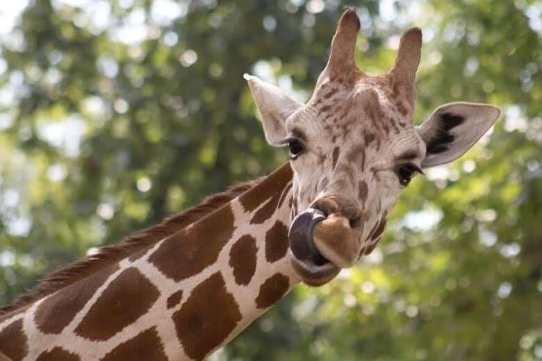 Wake Up With The Giraffes!